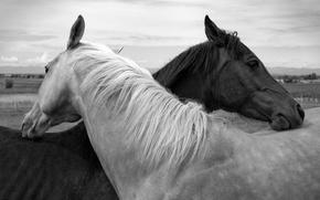 Picture nature, horse, head, pair, mane