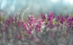 Picture flower, purple, spring, purple, bokeh, Eric, Erica, sunlight