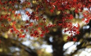 Picture autumn, leaves, tree, maple, the crimson
