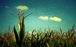Picture field, the sky, cereals