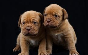 Picture puppies, black background, Dogue de Bordeaux