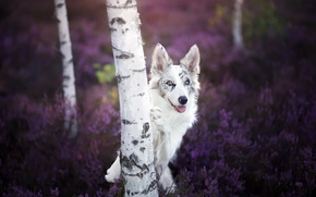 Picture look, dog, birch