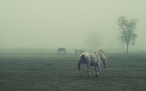 Picture field, horses, foggy