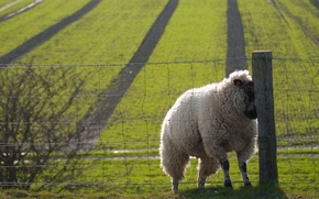 Picture field, the fence, sheep, nice, sheep, sweat