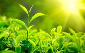 Picture macro, nature, nature, macro, tea leaves, the leaves of tea