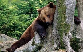 Wallpaper tree, Brown Bear, brown bear
