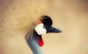 Picture crane, crane, crane, neck, neck, crowned crane