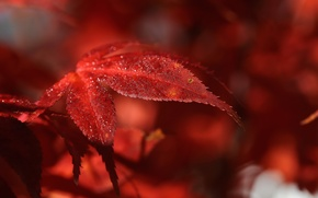 Picture leaves, macro, nature, Rosa, red