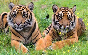 Picture grass, tiger, stay, predator, pair, the cubs