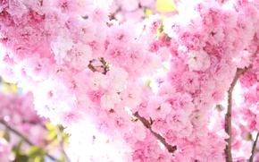 Wallpaper tenderness, flowers, light, branch, Sakura, tree, flowering, the sun, pink, spring