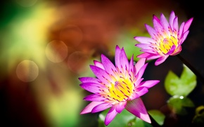 Picture flowers, pair, bokeh, water Lily