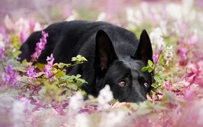 Picture dog, flowers, German shepherd, bokeh