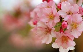 Picture macro, cherry, spring, flowering, flowers