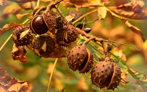 Picture autumn, leaves, tree, chestnut