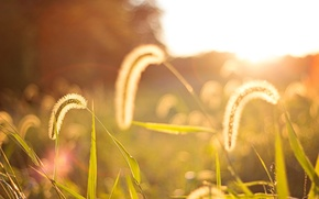 Picture field, leaves, the sun, macro, background, widescreen, Wallpaper, plant, spikelets, wallpaper, ears, widescreen, background, spike, …