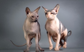 Picture look, cats, background, Sphinxes