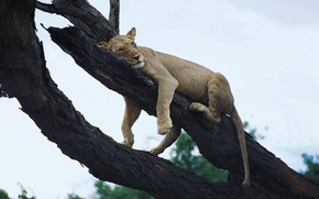 Picture lioness, resting, on the tree