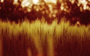 Wallpaper grass, wheat, field, nature