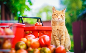 Picture cat, mustache, look, nature, stay, paws, yellow, blur, garden, harvest, red, tail, red, tomatoes, cat, …