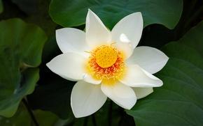 Wallpaper flower, background, petals, Lotus