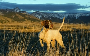 Picture BACKGROUND, MOUNTAINS, The SKY, TAIL, FIELD, CLOUDS, FACE, SLOPE, LANDSCAPE, DOG