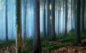 Picture forest, trees, nature, fog, trunks, Germany