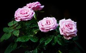 Picture leaves, water, drops, Rosa, Bush, roses, petals