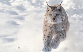 Picture animals, speed, cats, lynx, temnobelos
