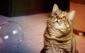 Picture cat, plays, bubble