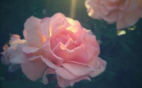 Picture macro, rose, sunlight