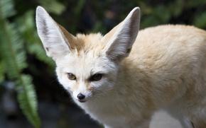 Picture look, predator, muzzle, ears, Fox, Fenech, fennec fox