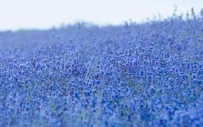 Picture flowers, lavender, lavender field