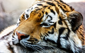 Picture face, predator, wild cat, The Amur tiger