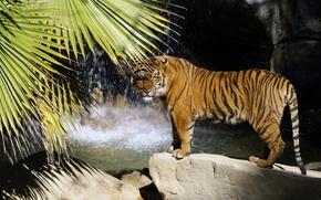 Picture tiger, Palma, stones, waterfall, predator