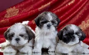 Picture puppies, trio, Shih Tzu