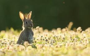 Wallpaper summer, hare, nature