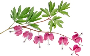Picture leaves, exotic, the bleeding heart, inflorescence
