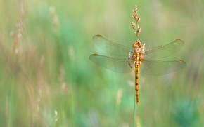 Picture summer, grass, macro, dragonfly, meadow, insect, Golden, stem, Wallpaper from lolita777