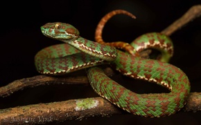 Wallpaper snake, Viper, color, scales