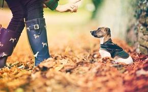 Picture autumn, leaves, dog, bokeh, little friend
