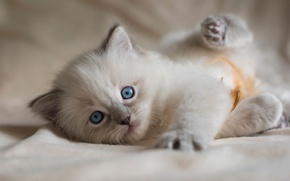 Picture cat, kitty, background, fluffy, lies, the beauty, face, plays, blue-eyed, ragdoll