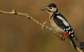 Picture background, bird, woodpecker