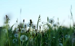 Picture field, summer, Nature, dandelions