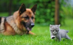 Picture grass, kitty, dog, Animals, Ovcharka