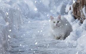 Picture winter, cat, snow, white