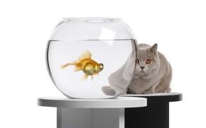 Picture cat, aquarium, goldfish