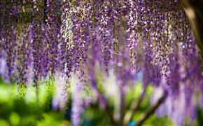 Picture flowers, flowers, bokeh, purple, wisteria