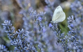 Picture macro, flowers, butterfly, lavender