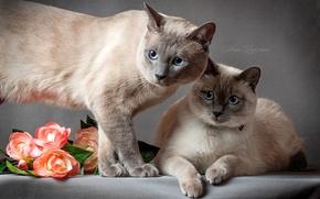 Picture cat, eyes, cat, grey background, Thai cat, the Thai cat