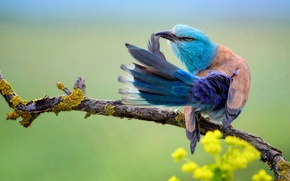 Wallpaper flowers, bird, branch, tail, Coracias Garrulus